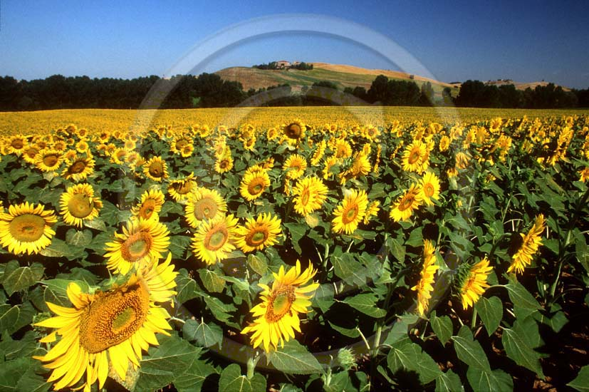 1992 - Landscapes of sunflower in summer, Crete land, 7 miles south the province of Siena.