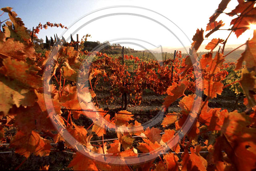 1989 - Landscapes of vineyards in autumn, near Poggibonsi village, Chianti land, 28 miles south the province of Florence.