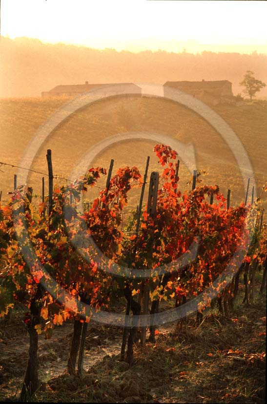 1991 - Landscapes of vineyards in early morning in autumn, near Radda village, Chianti land, 28 miles south the province of Florence.