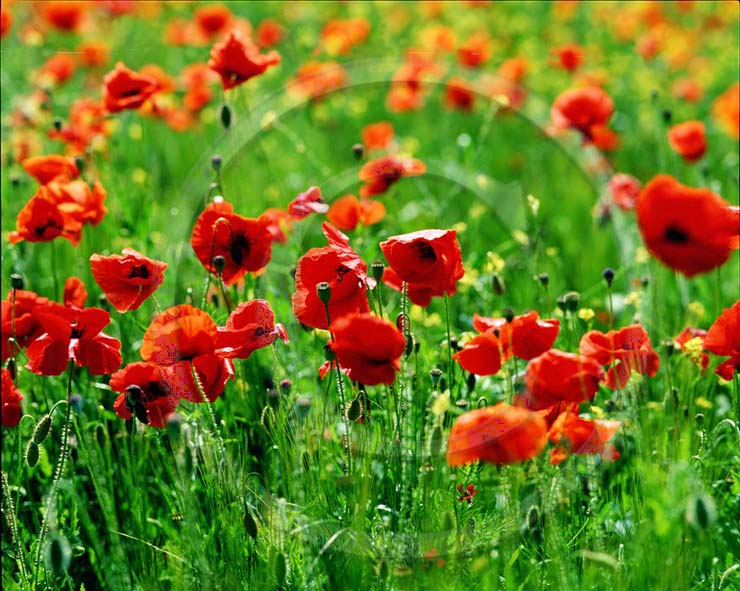 2002 - Landscape of red poppies.