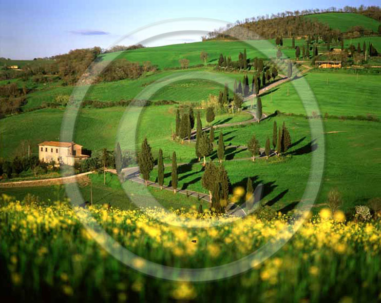 2003 - Landscapes of farm with cipress line and yellow flower of Colsa in field of bead in spring, near Monticchiello village, Orcia valley, 23 miles south province of Siena.