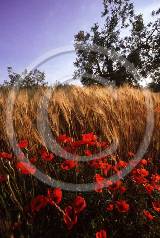 1999 - Landscapes of field of bead with red poppies in summer, near Alberese natural park, Maremma land, 15 miles south the province of Grosseto