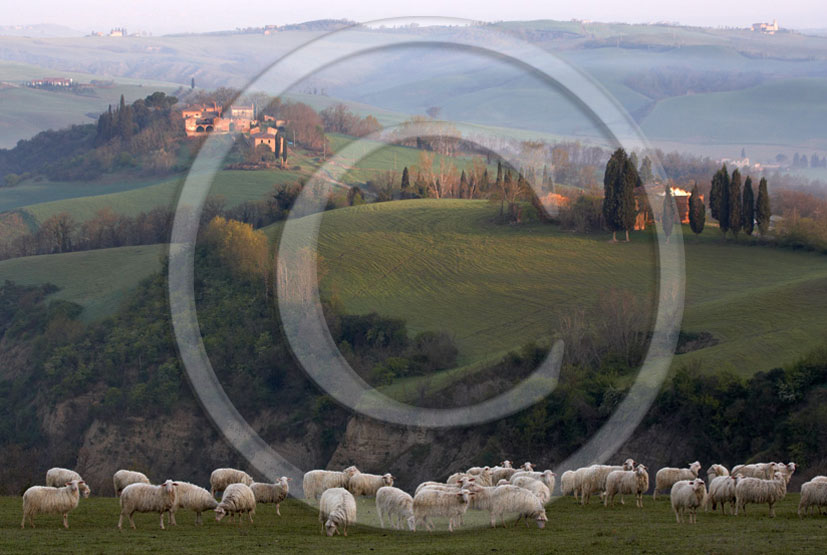 2005 - Landscapes of farm with sheeps on early morning autumn, Montemori place, near Asciano village, Crete senesi land, 22 miles south province of Siena.