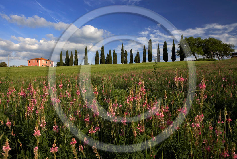 2005 - Landscapes of farm and cipress line with pink Sulla flower in spring, near S.Quirico village, Orcia valley, 23 miles south province of Siena.