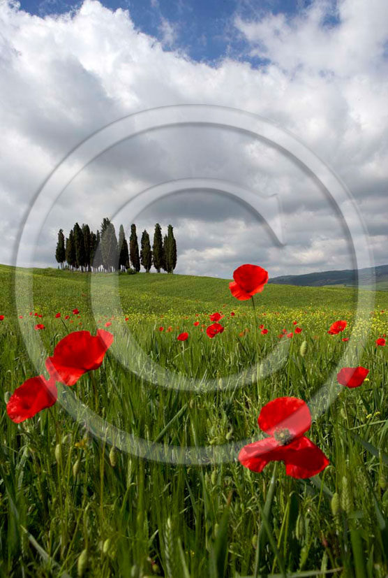 2005 - Landscapes of cipress and red poppies in field bead in spring, near S.Quirico village, Orcia valley, 21 miles south province of Siena.