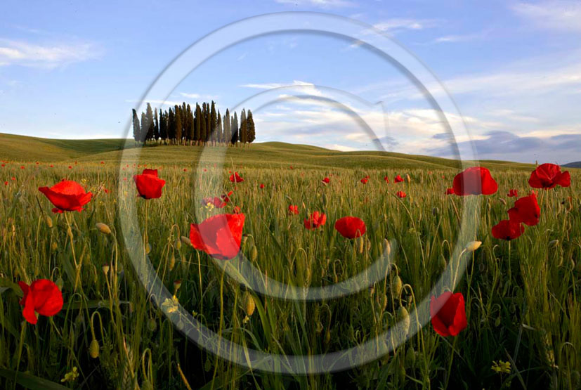 2005 - Landscapes of cipress and red poppies in field bead on early moring in spring, near S.Quirico village, Orcia valley, 21 miles south province of Siena.