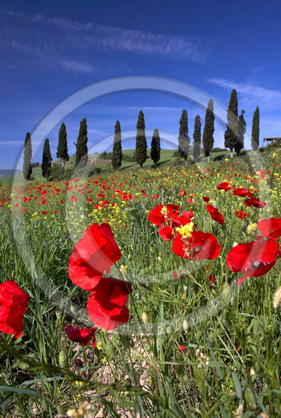 2005 - Landscapes of cipress and red poppies in spring, near S.Giovanni d'Asso village, Crete Senesi land valley, 26 miles south province of Siena.