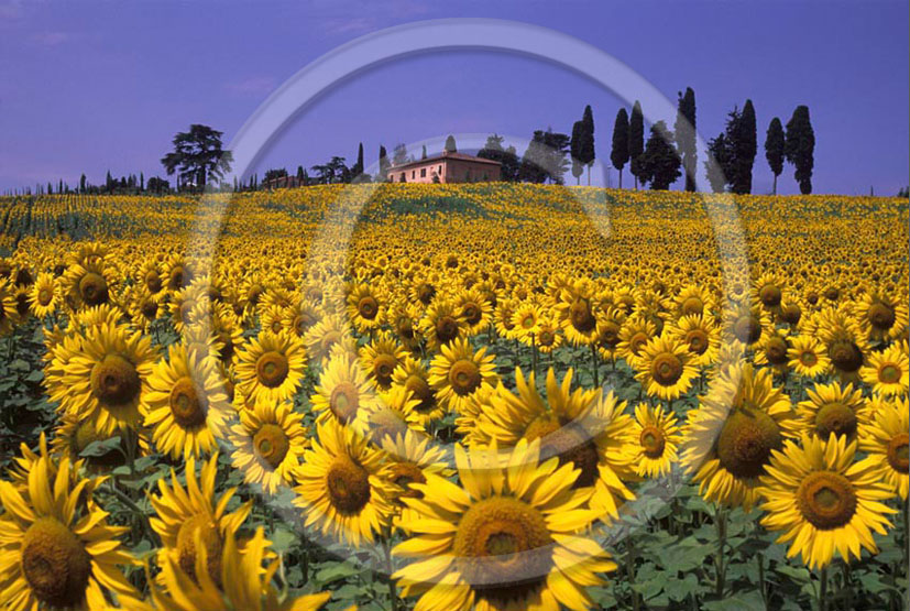 2005 - Landscapes of farm, cipress and yellow sunflower in summer, S.Pietro Belvedere place, Era valley, 20 miles est the province of Pisa.