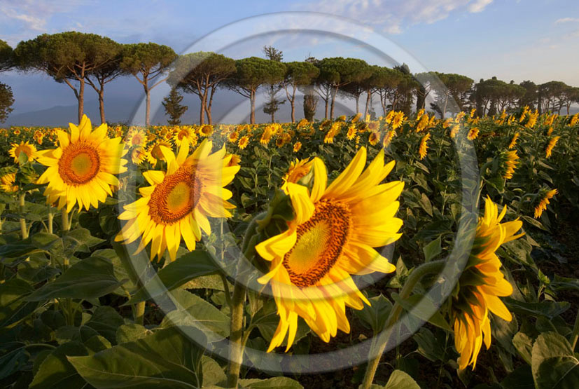 2005 - Landscapes of cipress and yellow sunflower on sunrise in summer, near Castiglione Pescaia, Maremma land, 12 miles east the province of Grosseto.