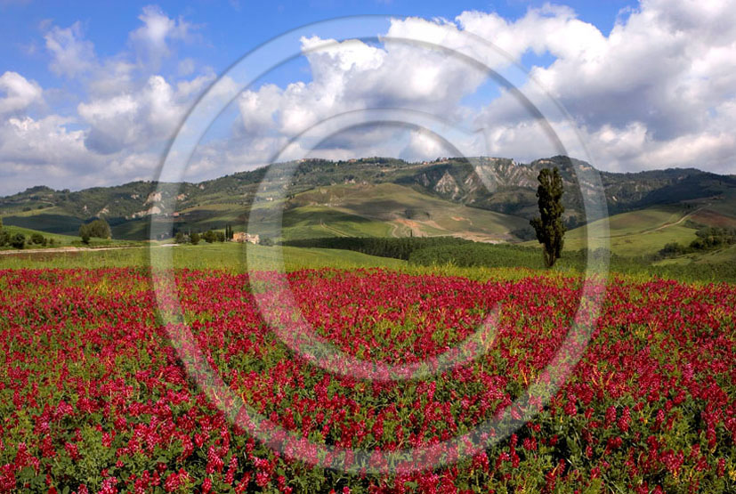 2006 - Landscapes with red Sulla flower in Era valley.