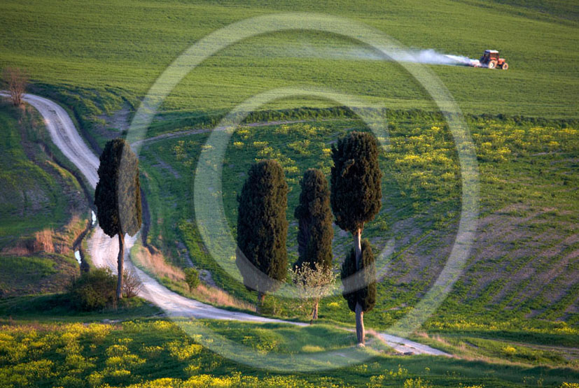 2006 - Landscapes of cipress with yellow Colsa flower on early morning in spring, near Pienza village, 22 miles south province of Siena.