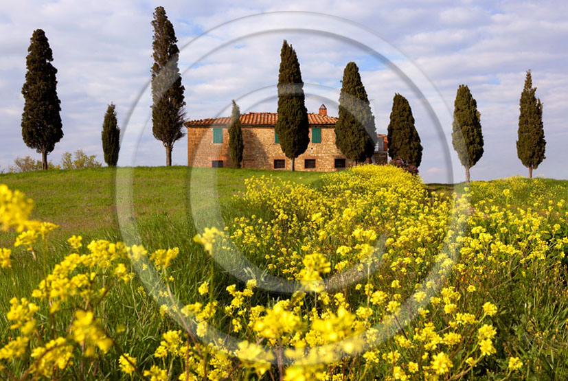 2006 - Landscapes of farm and cipress with yellow Colsa flower on late afternoon in spring, near Pienza village, 22 miles south province of Siena.