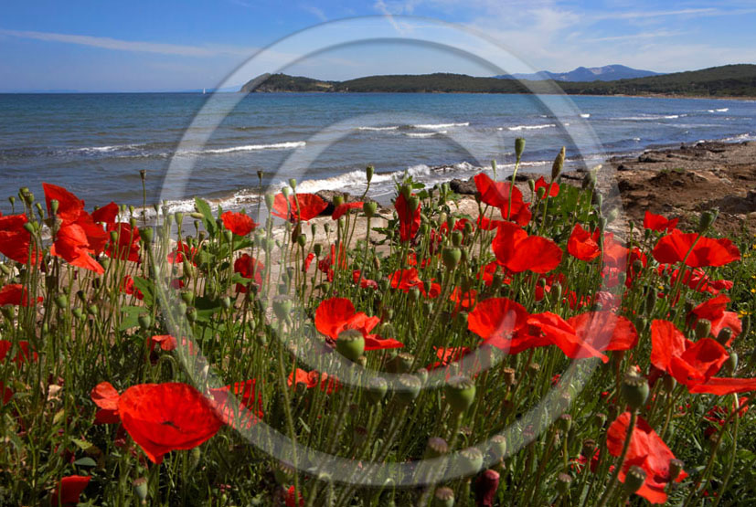 2006 - Landscapes of red poppies and Tirreno sea in summer, Baratti gulf, Etrurian coast, 30 miles south the province of Leghorn.