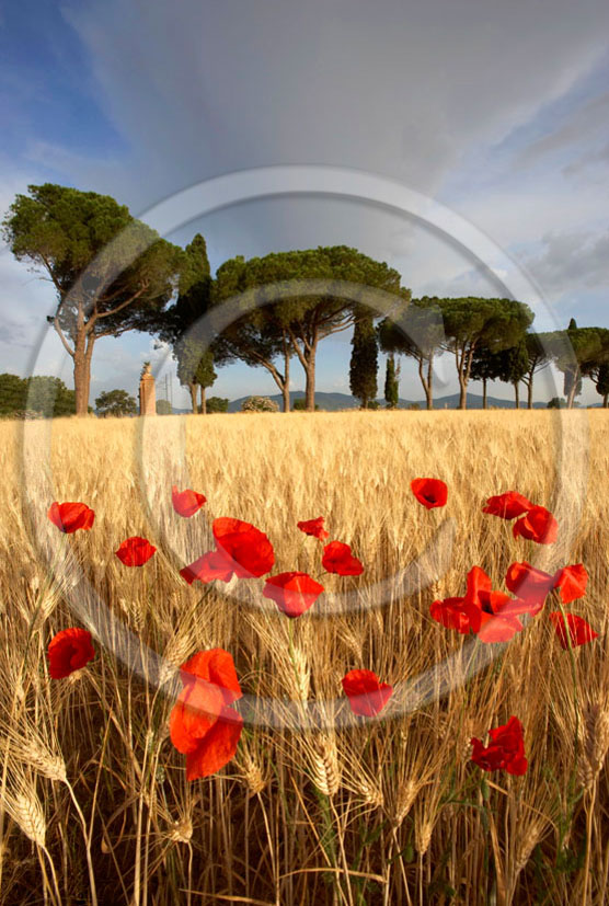 2006 - Landscapes of cipress in field of bead with red poppies on sunrise in summer, near Castiglione Pescaia, Maremma land, 12 miles east the province of Grosseto.