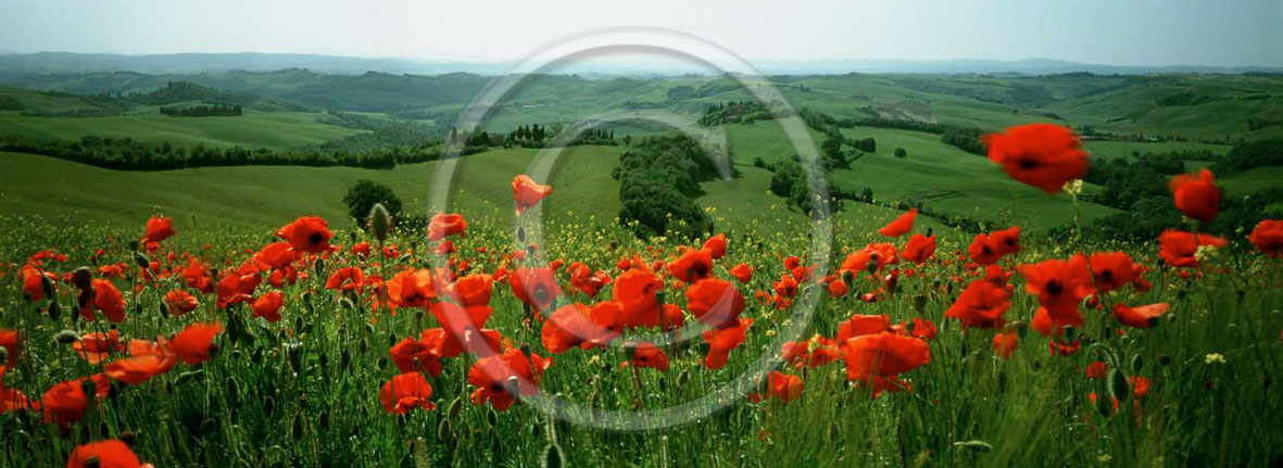 2000 - Panoramic view of red poppies in Orcia valley.