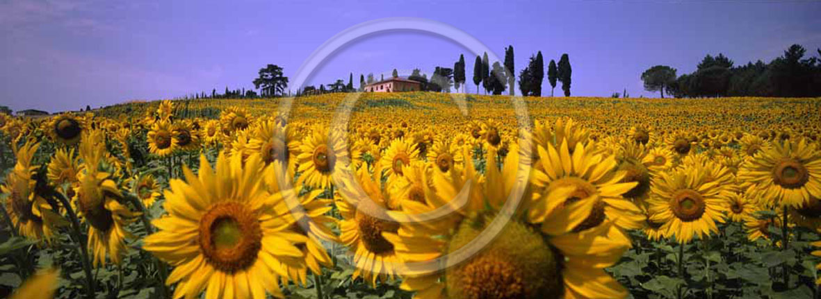 2005 - Panoramic view of farm, cipress and yellow sunflower in summer, S.Pietro Belvedere place, Era valley, 20 miles est the province of Pisa.