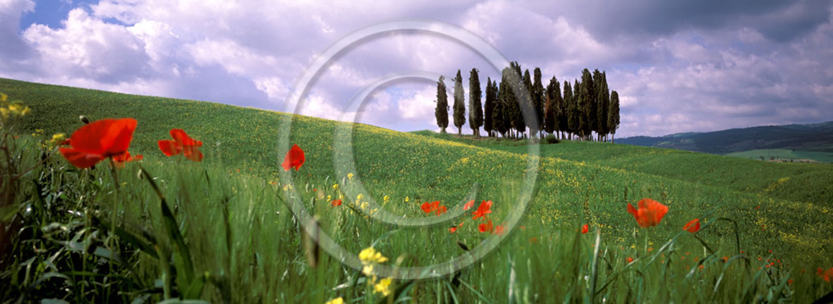 2005 - Panoramic of cipress and red poppies in field bead in spring, near S.Quirico village, Orcia valley, 21 miles south province of Siena.