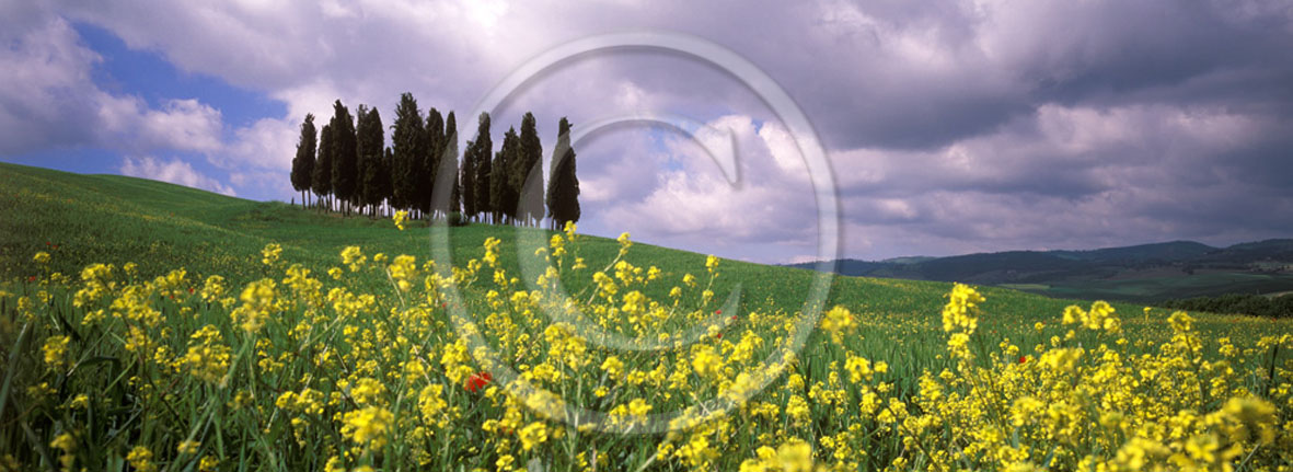 2005 - Panoramic of cipress and yelow Colsa flower in field bead in spring, near S.Quirico village, Orcia valley, 21 miles south province of Siena.