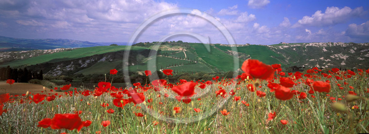 2005 - Panoramic of red poppies in spring, near Foce village, Orcia valley, 31 miles south province of Siena.