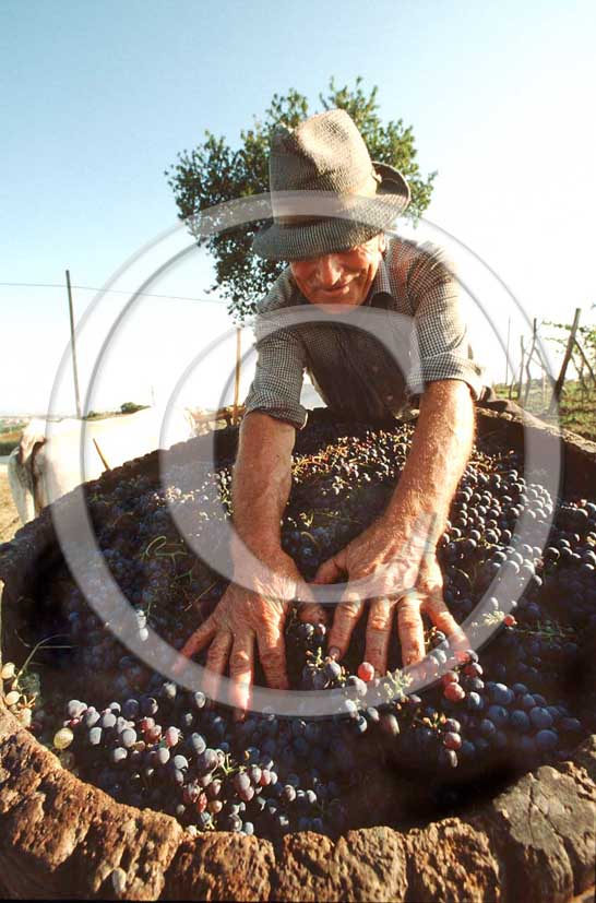 1986 - Farmer works to collect graps during the vintage in Chianti land.