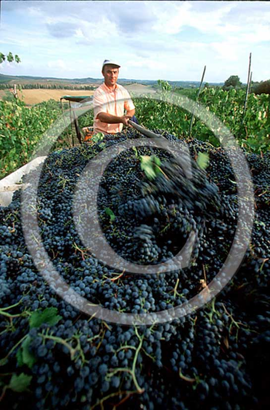 1999 - Farmer work to collect the red graps during the vintage in Chianti land.
