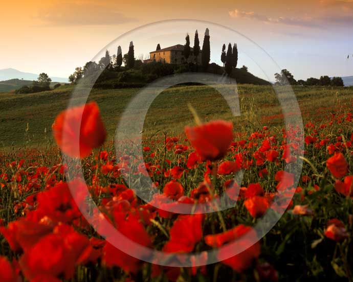 2001 -&nbsp;Landscapes on sunrise of farm, cipress and red poppies in spring, near S.Quirico village, Orcia valley, 21 miles south the province of Siena. <BR>