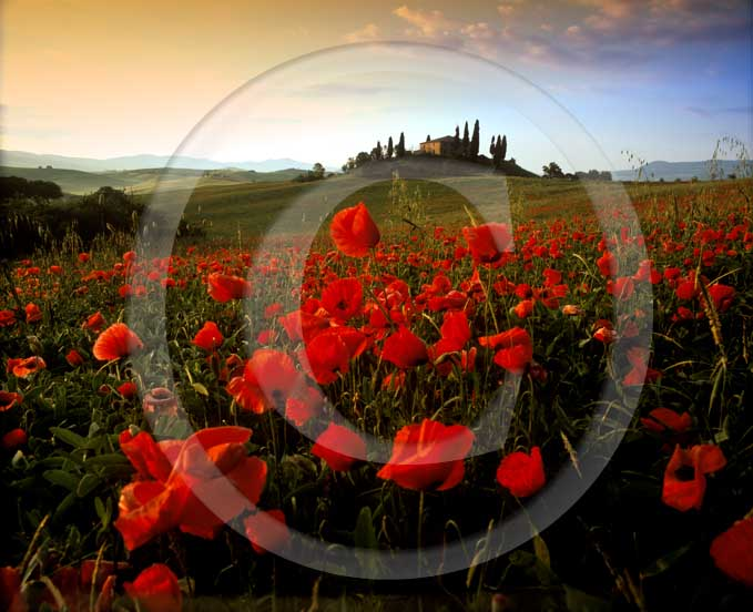2001 - Landscapes on sunrise of farm, cipress and red poppies in spring, near S.Quirico village, Orcia valley, 21 miles south the province of Siena.