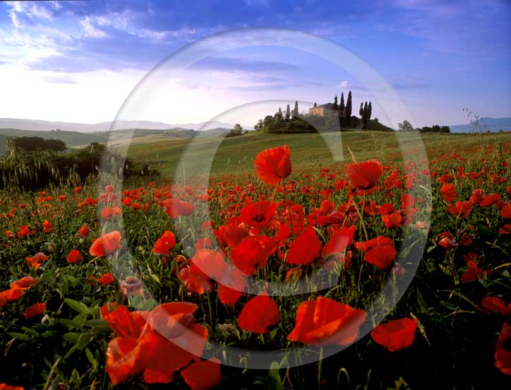 2001 - Landscapes on early morning of farm, cipress and red poppies in spring, near S.Quirico village, Orcia valley, 21 miles south the province of Siena.