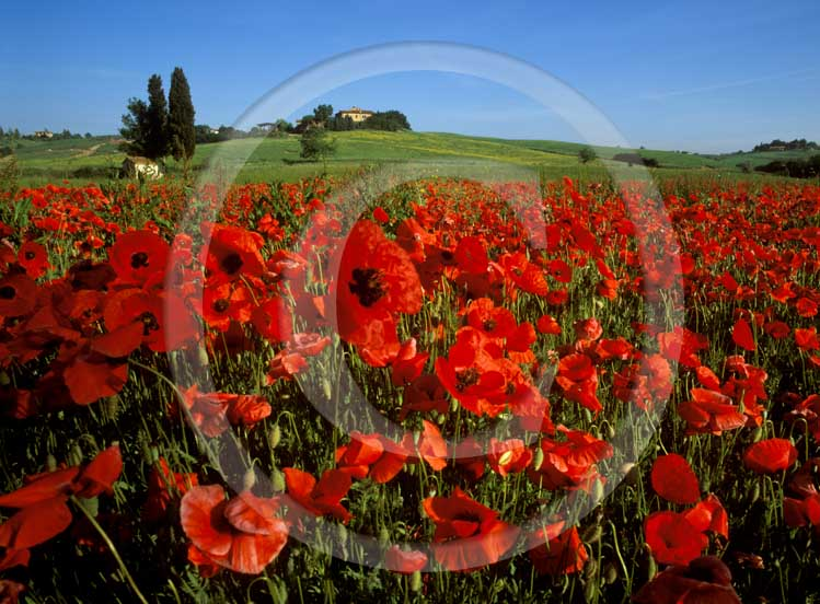 2001 - View of field of red poppies in spring, near S.Rocco a Pilli village, Merse valley, 14 miles south the province of Siena