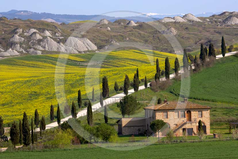 2007 - Landscapes of farm and cipress line with yellow colsa flower in spring, Leonina place, near Taverne Arbia village, Crete Senesi land, 8 miles south province of Siena.