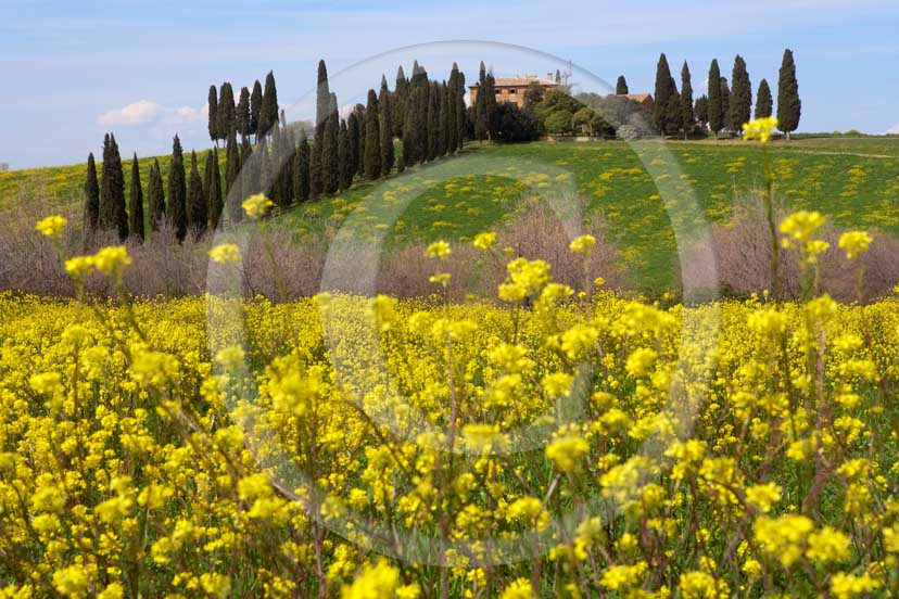2007 - Landscapes of farm and cipress line with yellow colsa flower in spring, Poggio Manzuoli place, near S.Quirico village, Orcia valley, 15 miles south province of Siena.