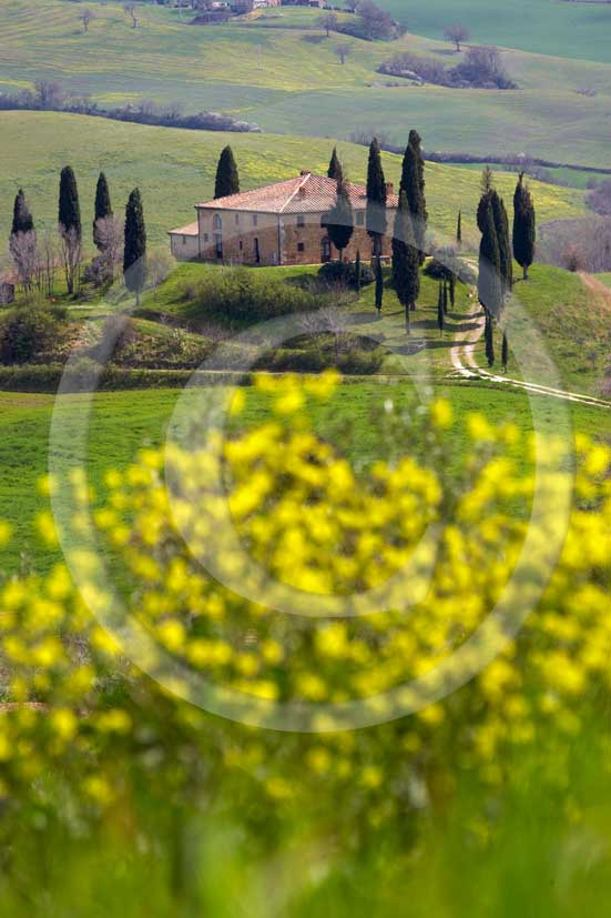 2007 - Landscapes of farm and cipress with yellow colsa flower in spring, near S.Quirico village, Orcia valley, 15 miles south province of Siena.