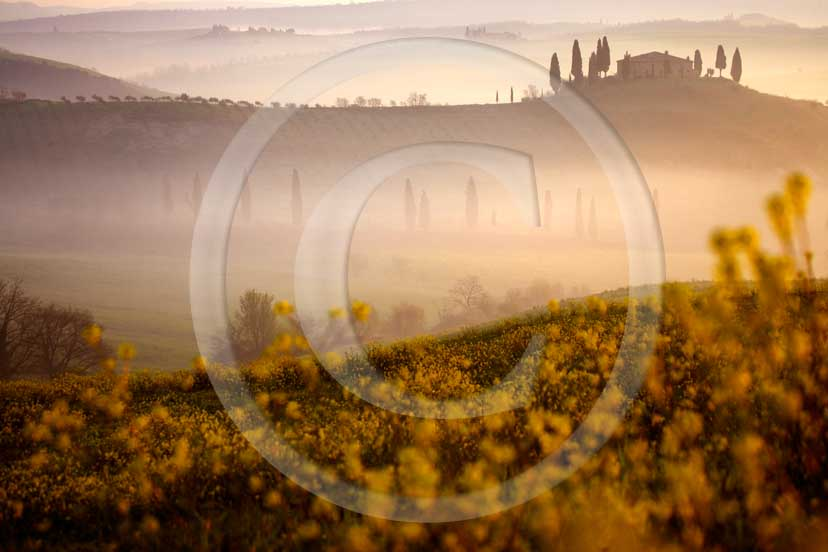 2007 - Landscapes of farm and cipress with yellow colsa flower with fog on sunrise in spring, near S.Quirico village, Orcia valley, 15 miles south province of Siena.