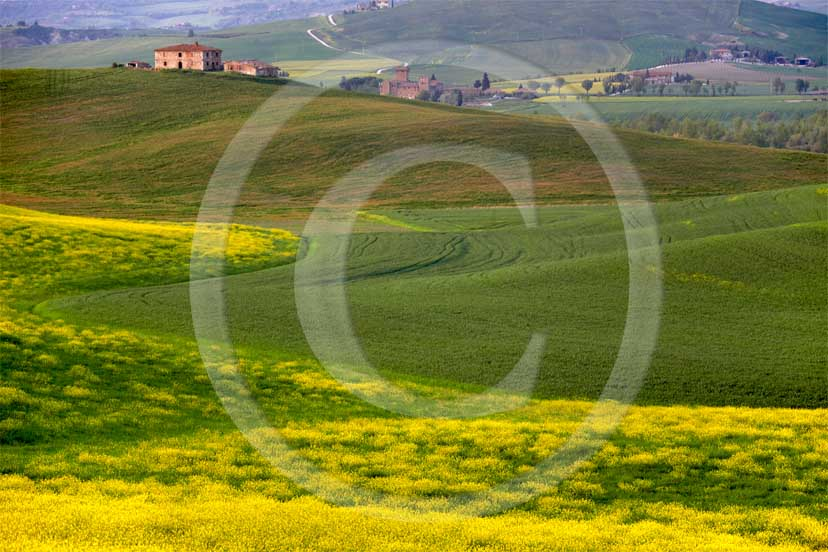2007 - Landscapes and farm in green field of bead with yellow colsa flower in spring, near Gallina village, Orcia valley, 30 miles south province of Siena.