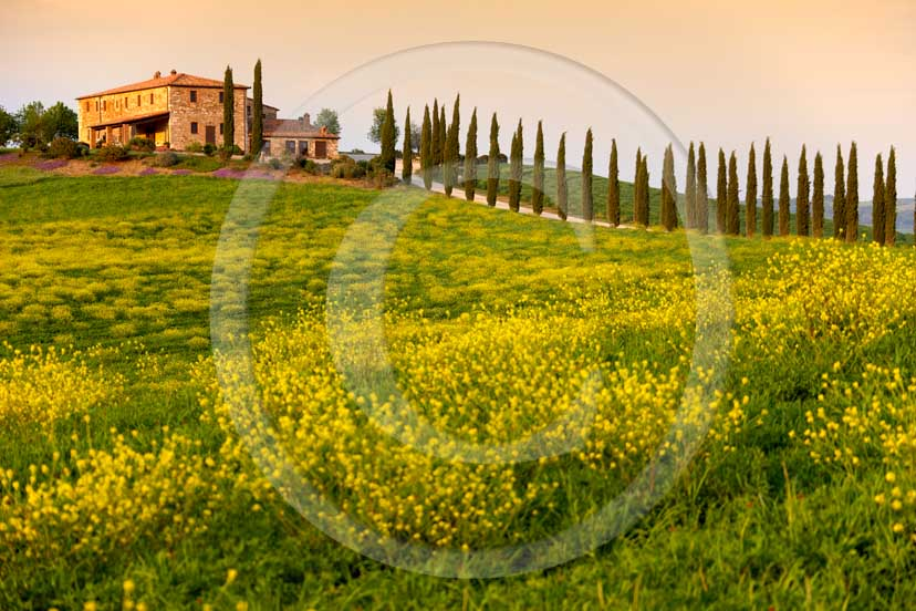 2007 - Landscapes of farm and cipress line with yellow colsa flower on sunset in spring, near Gallina village, Orcia valley, 30 miles south province of Siena.