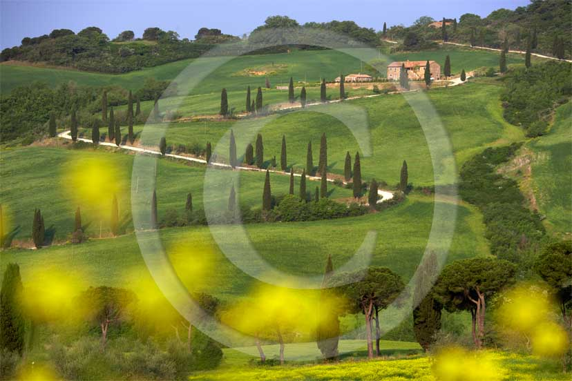 <DIV>2007 - Landscapes&nbsp;with farm&nbsp;and cipress line in green field of bead with yellow colsa flower in spring, near La Foce place, Orcia valley,&nbsp;35 miles south province of Siena.</DIV>