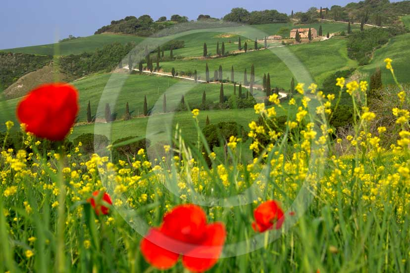 <DIV>2007 - Landscapes&nbsp;with farm&nbsp;and cipress line in green field of bead with yellow colsa flower and red poppies&nbsp;in spring, near La Foce place, Orcia valley,&nbsp;35 miles south province of Siena.</DIV>