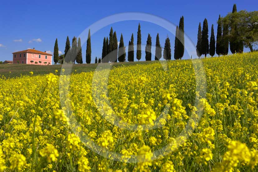<DIV>2007 - Landscapes&nbsp;with farm&nbsp;and cipress line with yellow colsa in blue sky&nbsp;on spring, near&nbsp;S.Quirico medieval village, Orcia valley,&nbsp;20 miles south province of Siena.</DIV>