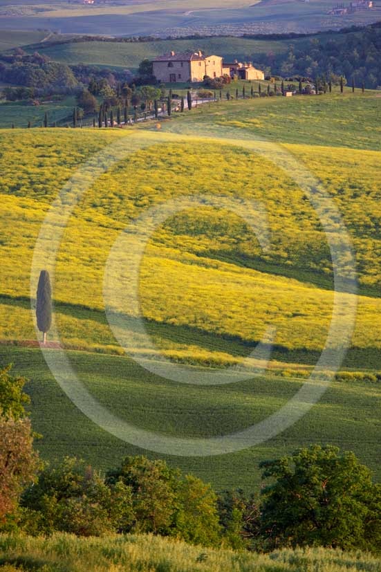 2007 - Landscapes of field of bead with yellow colsa flower and farm in spring, Terrapile place, Orcia Valley, near Pienza village, 26 miles south the province of Siena.