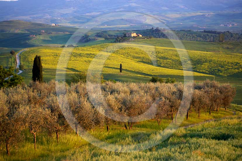 2007 - Landscapes  with yellow colsa flower, olives and farm in spring, Terrapile place, Orcia Valley, near Pienza village, 26 miles south the province of Siena.