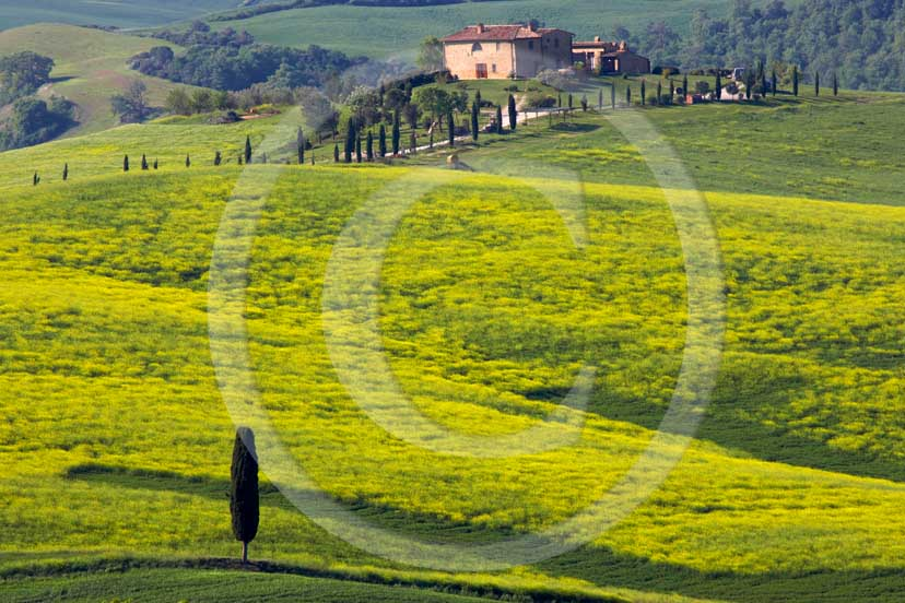 2007 - Landscapes of field of bead with yellow colsa flower, cipress and farm in spring, Terrapile place, Orcia Valley, near Pienza village, 26 miles south the province of Siena.