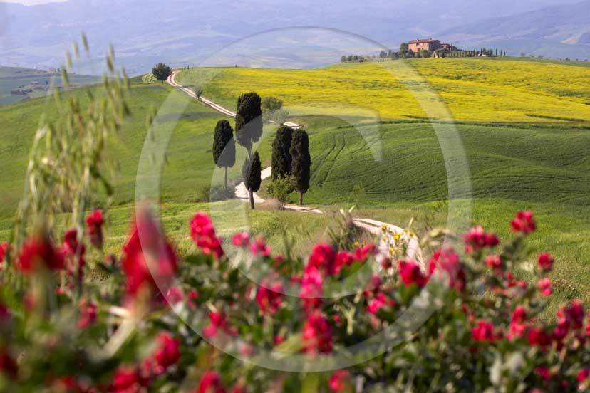 2007 - Landscapes of field of bead with yellow colsa and red sulla flower, cipress and farm in spring, Terrapile place, Orcia Valley, near Pienza village, 26 miles south the province of Siena.
