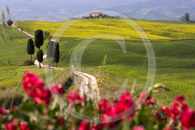 2007 - Landscapes of field of bead with yellow colsa and red sulla flower, cipress and farm in spring, Terrapile place, Orcia Valley, near Pienza village, 26 miles south the province