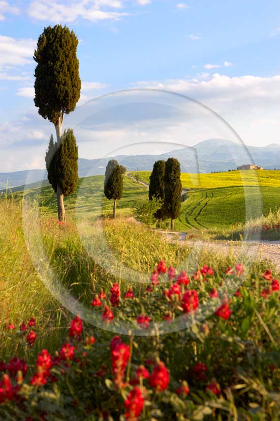 <P>2007 - Landscapes of field of bead with yellow colsa and red sulla flower, cipress and farm in spring, Terrapile place, Orcia Valley, near Pienza village, 26 miles south the province.</P>