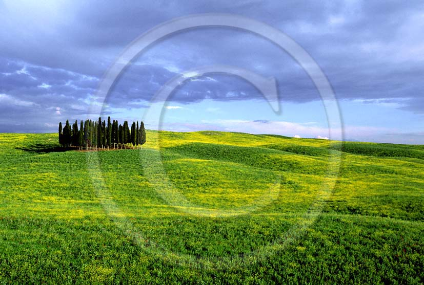 2004 - Landscapes of cipress in field of Colsa yellow flower in spring, near S.Quirico village, Orcia valley, 15 miles south the province of Siena.