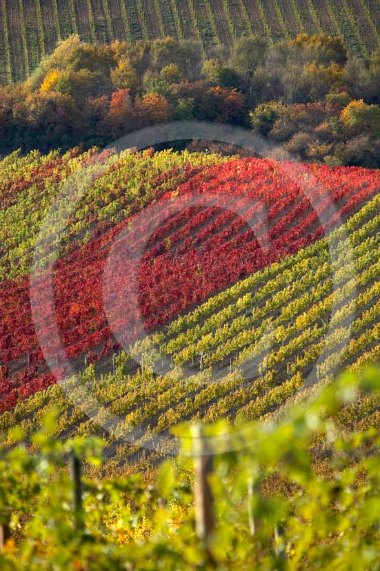 2007 - Landscapes of yellow and red vineyards in autumn, near Castellina in Chianti, Chianti land, 12 miles north the province of Siena.