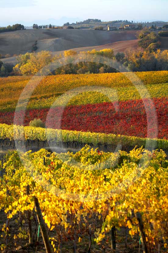 2007 - Landscapes of yellow and red vineyards on late afternoon in autumn, near Topina place, Chianti land, 8 miles north the province of Siena.