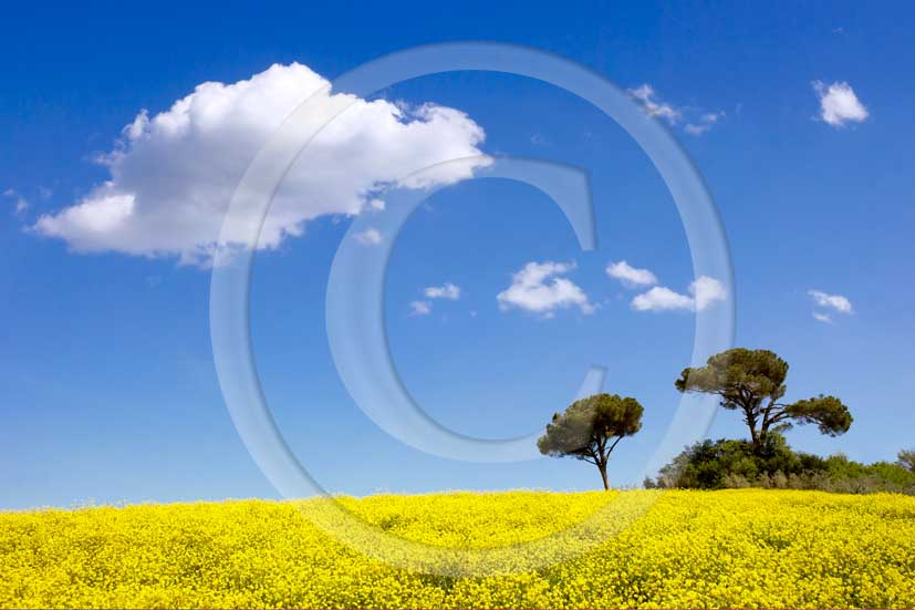 2008 - Landscapes of yellow field of