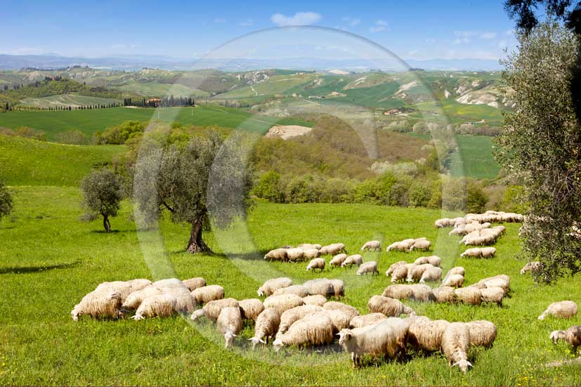 2008 - Landscapes with sheeps in morning on summer, near Asciano village, Crete senesi land, 15 miles south the province of Siena.