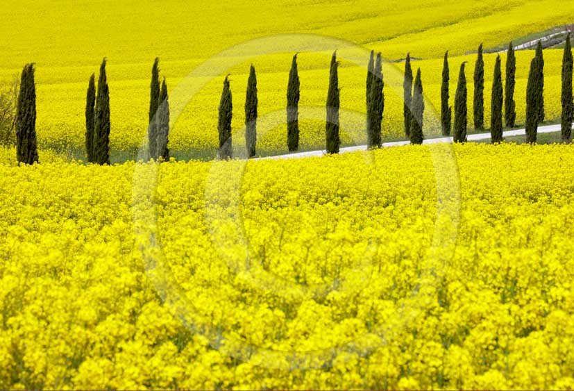 2008 - Landscapes of cypress and yellow